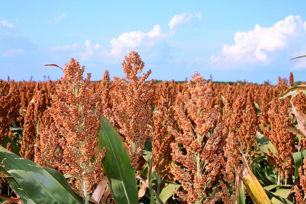 Sorghum Fields 1024×683